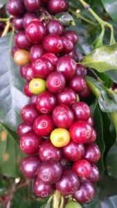 die Bohnen der verschiedenen Kaffeesorten sehen gleich aus