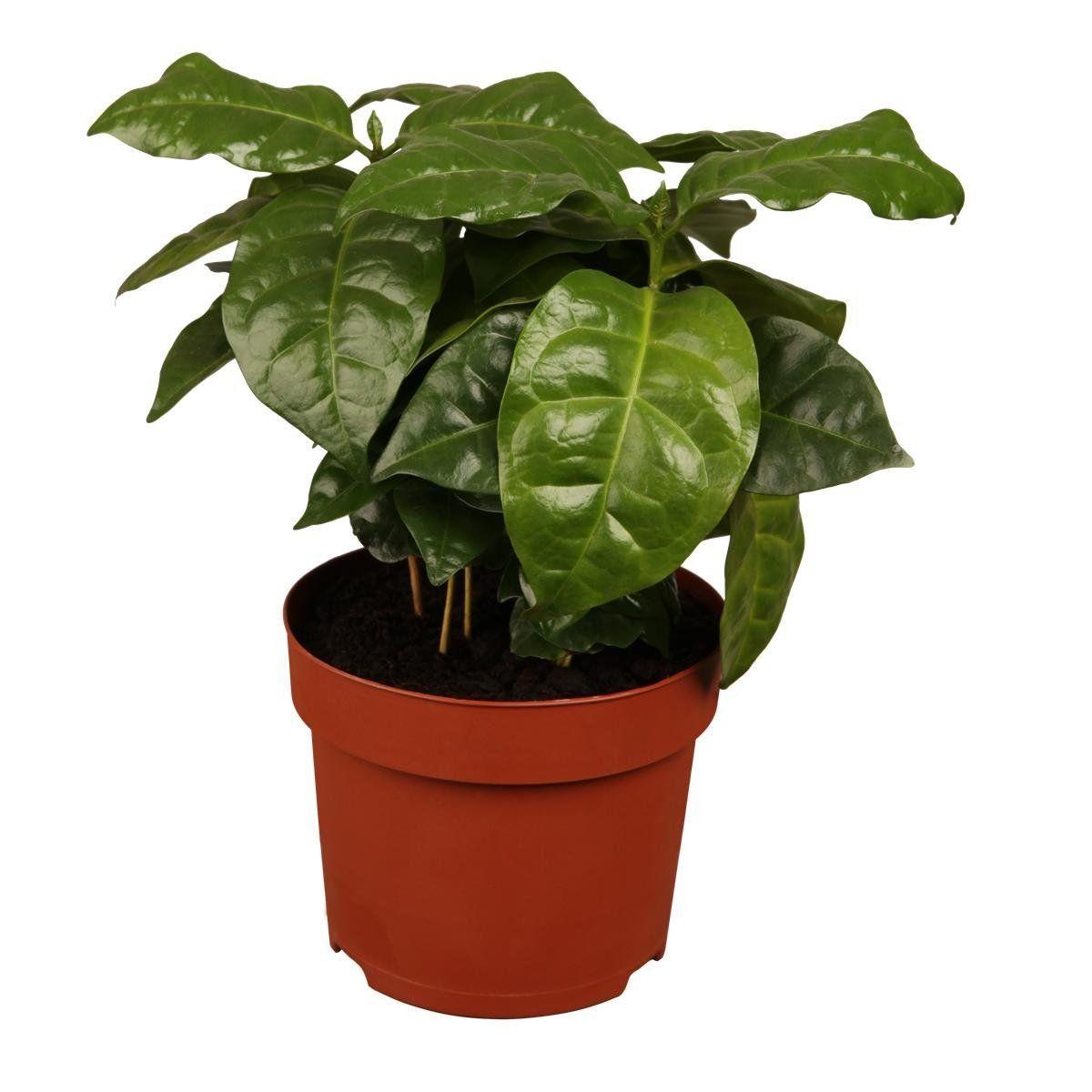 kaffeepflanze kaufen das sollten sie beachten